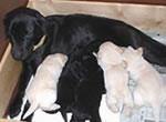 盲導犬繁殖犬ウルミナと子犬たち