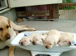 盲導犬繁殖犬ジェシカと子犬たち
