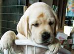 盲導犬候補ピンク