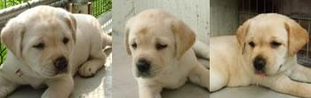 盲導犬繁殖犬ジェシカの子犬たち