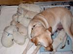 盲導犬繁殖犬ジェシカ