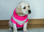 盲導犬繁殖犬ジェシカの子犬