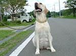 栃木盲道犬センター繁殖犬