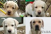 栃木盲導犬センター繁殖犬