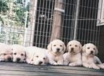 盲導犬繁殖犬ミルキーの子犬たち